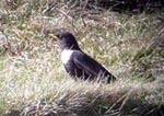 confiding Ring Ouzel