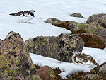 Pair of Ptarmigan