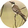 Great Spotted Cuckoo- Extremadura